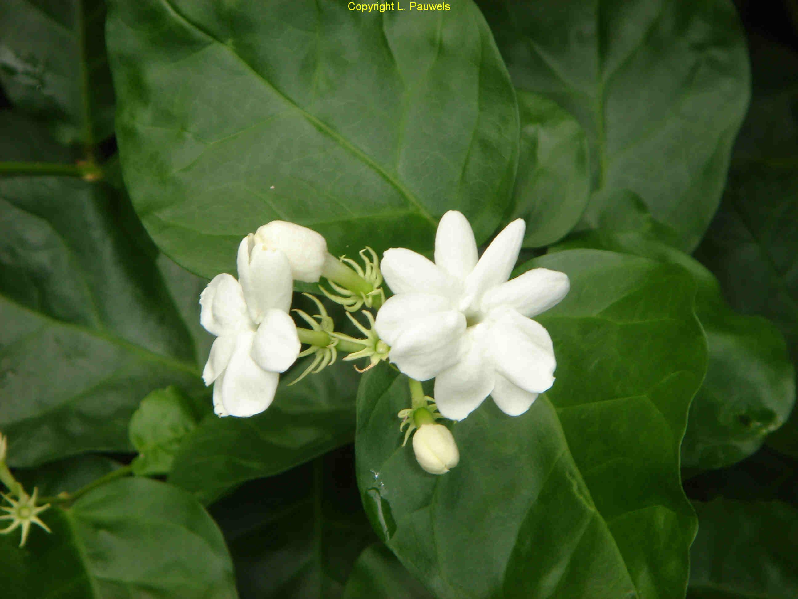 Horticulture Flower Crops Malligai