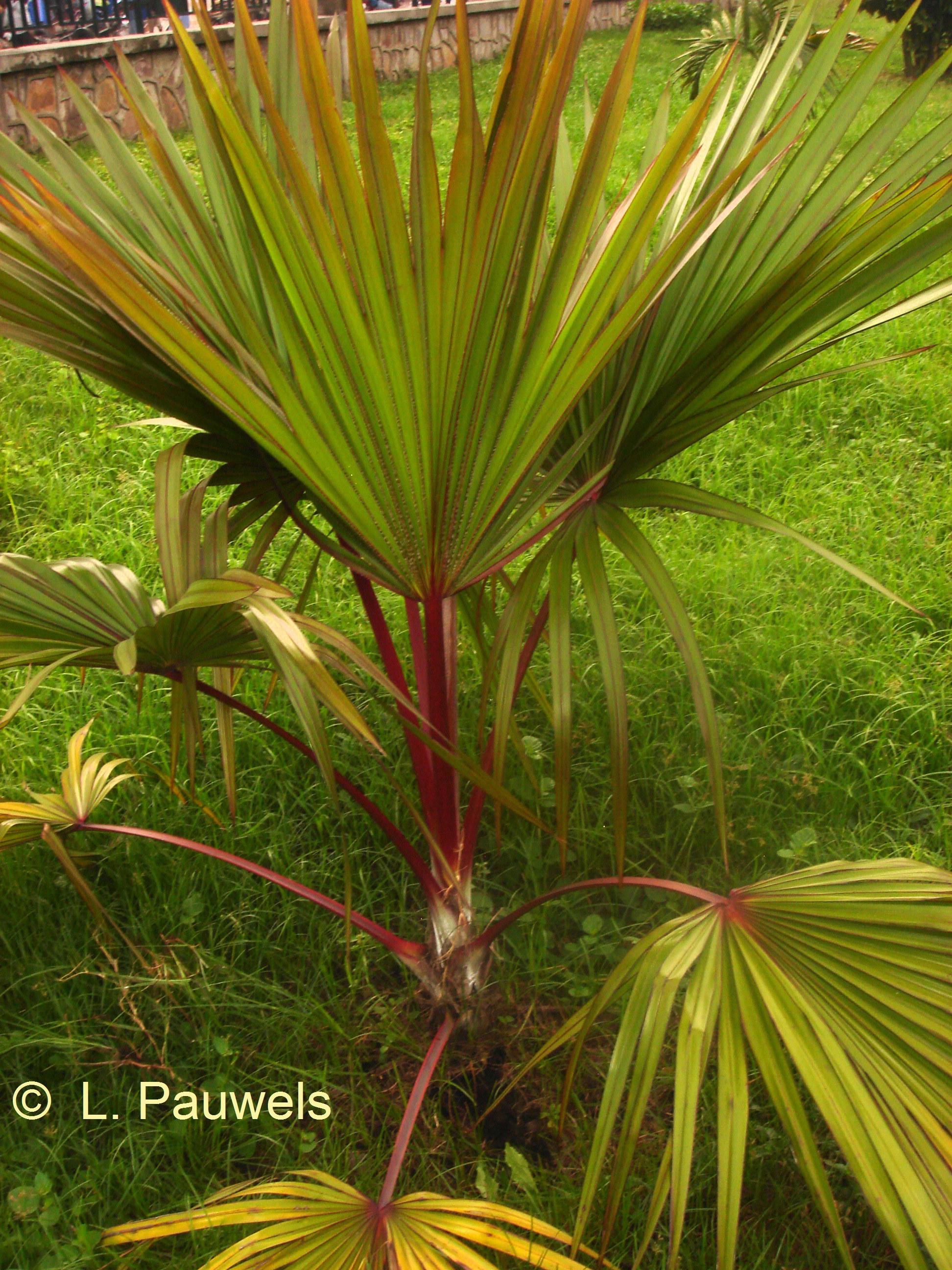 palmier hyophorbe verschaffeltii