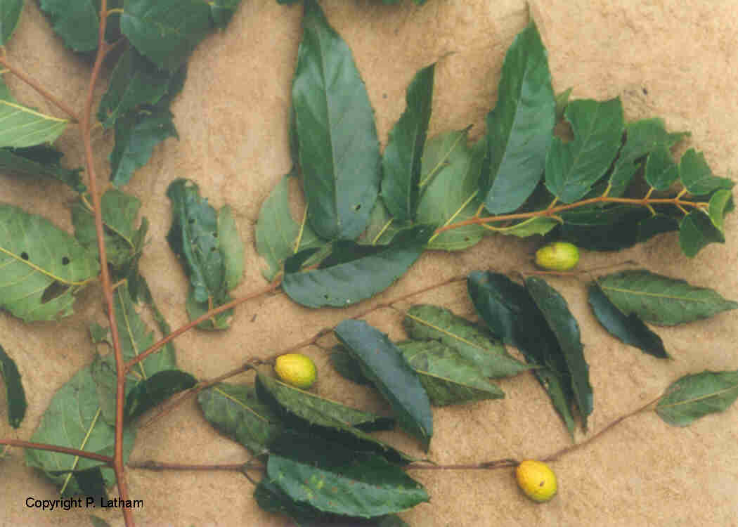 Cle de determination for Plante 7 folioles